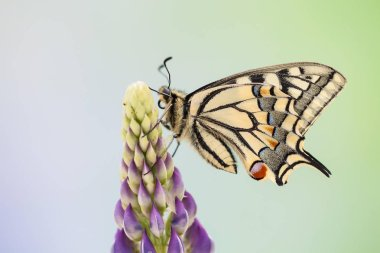 Swallowtail or Old World Swallowtail sitting on flower