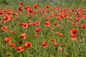 scenic view of Common Poppies on a meadow