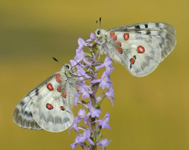 Apollo Butterflies covered with dew mating on a Short-spurred Fragrant Orchid