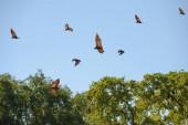 madagaskar fliegende füchse (pteropus rufus) im flug, toliara provinz, madagaskar, afrika