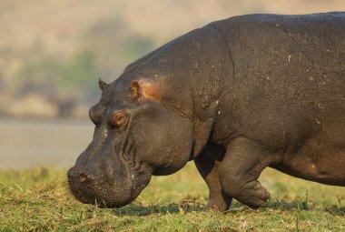 Hippopotamus (Hippopotamus amphibius), bull at the bank of the Chobe River, Chobe National Park, Botswana, Africa