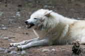 Arktický vlk (Canis lupus arctos) zajatý, vrčící
