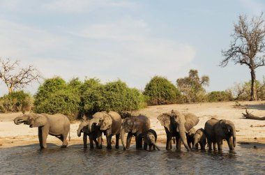 large and cute elephants in natural habitat at savanna