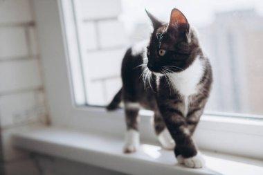 Black and white domestic kitten walks on the windowsill on the balcony.