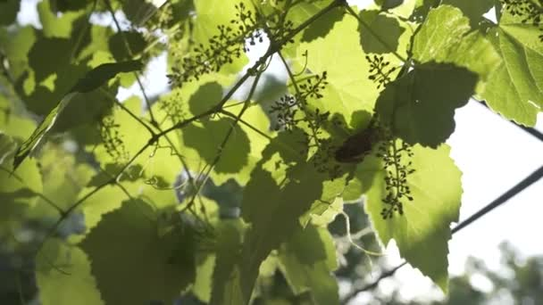 Green growing Grapes in summer Georgian day