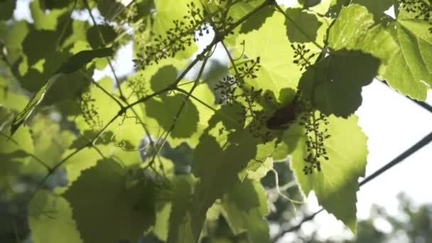 Zöld nyári grúz nap egyre nagyobb a szőlő
