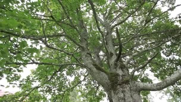 Starý zelený javor v zahradě