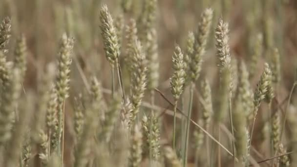 Field with yellow ears of rye bread, farm, seed, yellow, wheat, ear, agriculture cereal crop