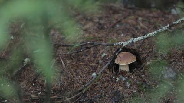 Az erdő alatt a fenyő az erdőben gomba vargánya