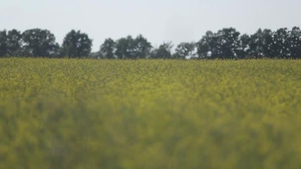 Řepkové pole farma, přírodní, žlutá, řepka zemědělství zelená krajina
