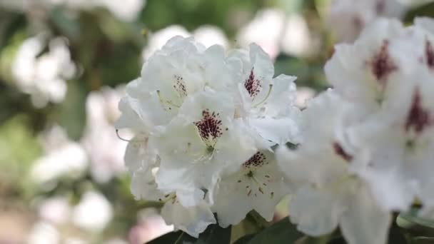 White rhododendrons bloom in the summer garden in the sun