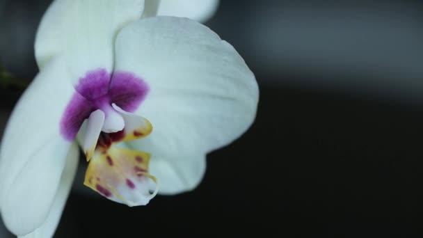 Bílá orchidej makro na černém pozadí s jezdcem