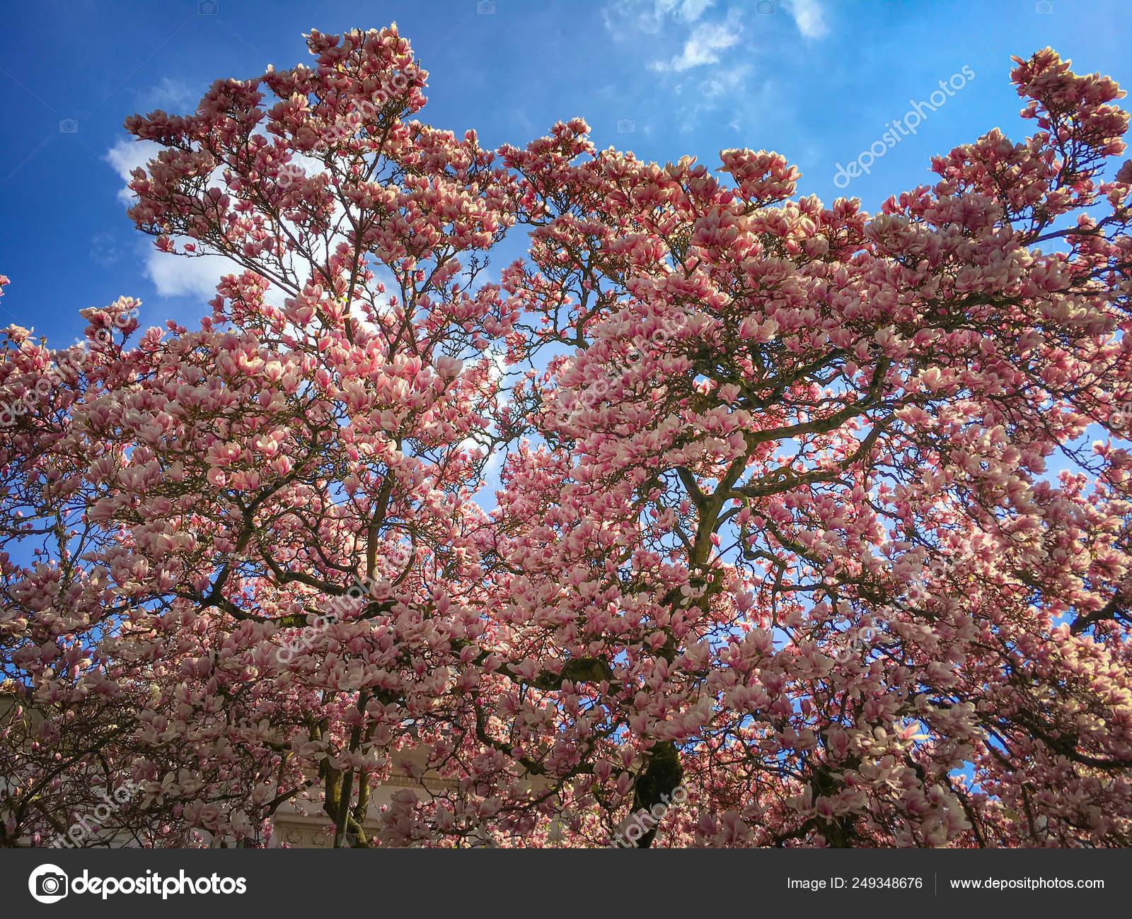 Magnolia Tree In Full Bloom Stock Photo Meseberg At Webde 249348676