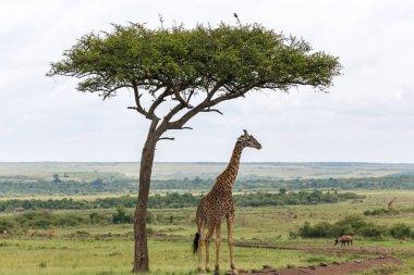 """Картина, постер, плакат, фотообои """"один жираф масаи стоит под деревом"""", артикул 412919834"""
