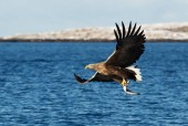 White-tailed sea Eagle (Haliaeetus albicilla) in flight with a fish in the claws, Norway.
