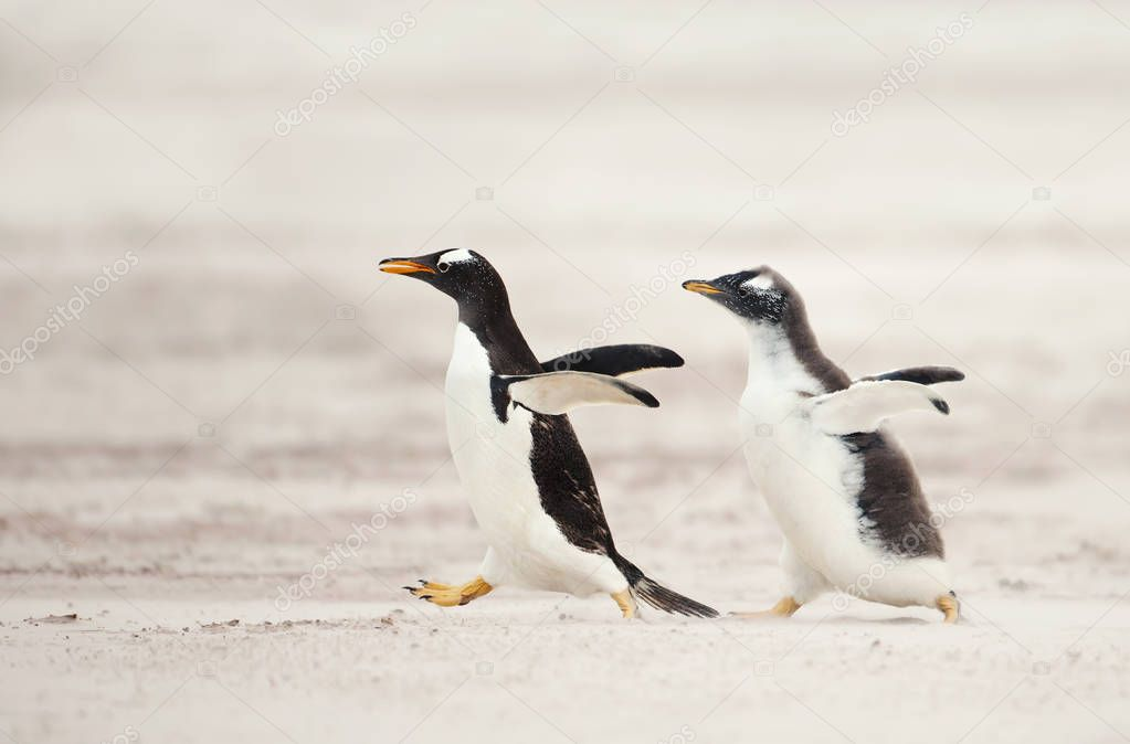 Gentoo penguin chick chasing its parent to be fed on a sandy coast, Falkland islands. Interesting animal / bird behaviour in the wild.