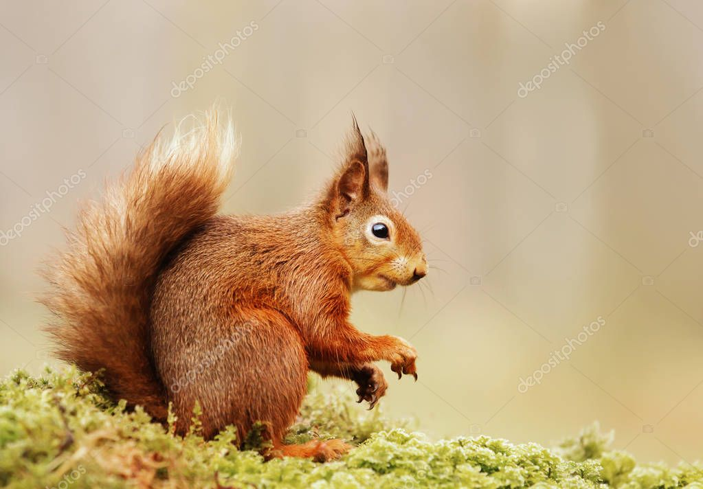 Isolated Eurasian red squirrel (Sciurus vulgaris) sitting on a mossy log.