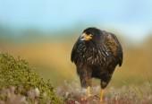 Fotografie Nahaufnahme der gerastert Caracara zu Fuß auf dem Rasen vor bunten Hintergrund, Falkland-Inseln. Niedrigen Winkel Blick auf ein Raubvogel