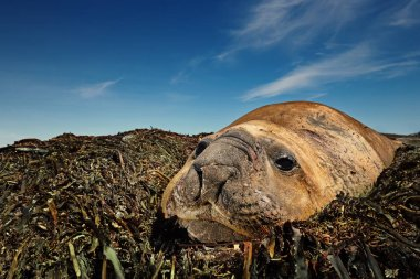 Close-up of molting adult Elephant Seal lying on sea weeds on a Sea Lion island, Falkland islands.
