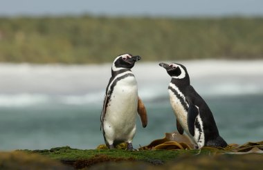 Two Magellanic penguins standing on a shoreline by Atlantic ocean in Falkland islands.