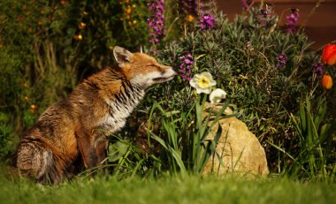 Red Fox smelling the flowers in the garden in spring, UK.