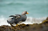 Close up of Falkland steamer duck endemic to the Falkland islands on the coast of Atlantic ocean.