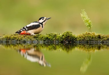 Close up of Great spotted woodpecker and his reflection by a pond, UK.