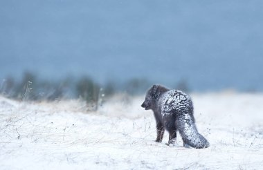 Arctic fox in the falling snow, winter in Iceland.