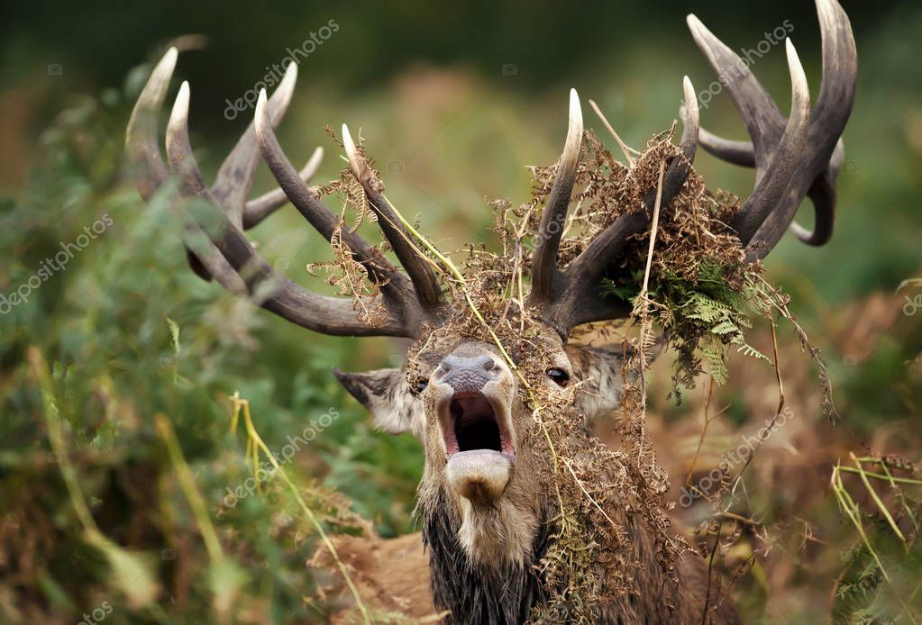 Close up of a red deer stag bellowing with ferns draped around its antlers  during rutting season, UK.
