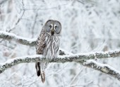 Close up of Great Grey Owl (Strix nebulosa) perched in a tree in winter, Finland.