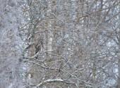 Allocco (Strix nebulosa) mimetizzato con successo mentre appollaiato in un albero in inverno, Finlandia