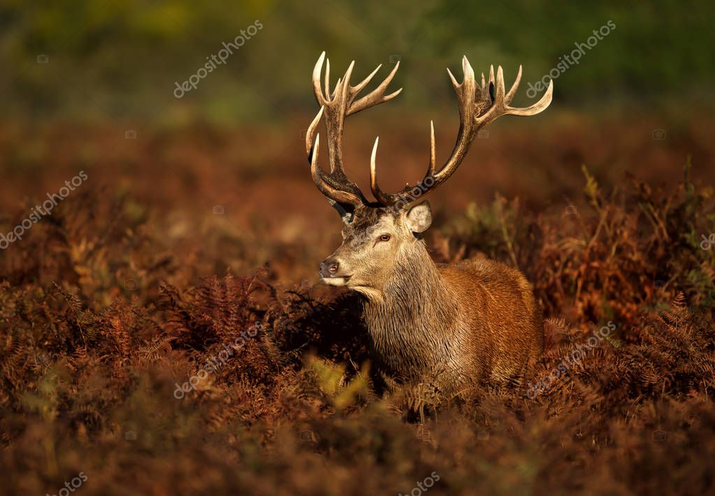 Close up of a Red deer stag standing in the field of fern during rutting season in autumn, UK.
