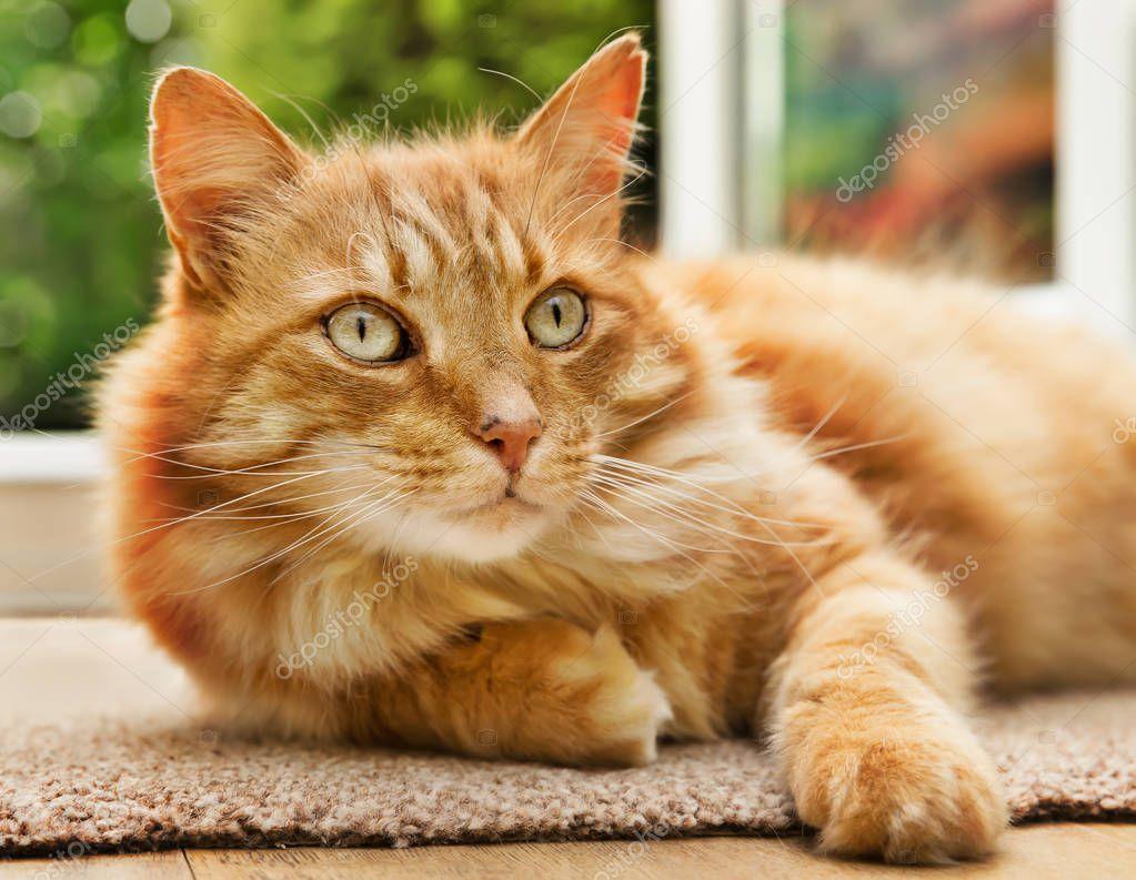 velká baculatá kočička