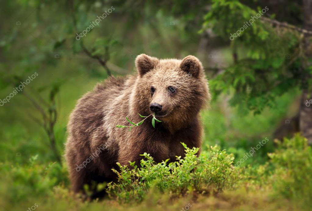 Close up of European brown bear (ursos arctos) eating grass and branches in forest, Finland.