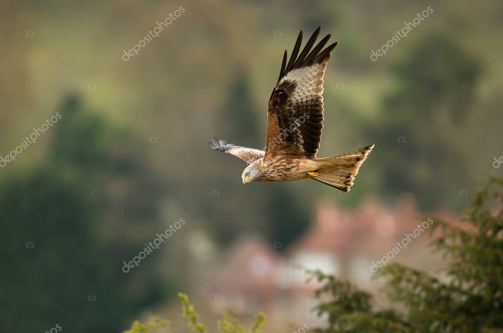 Close up of a Red kite (Milvus milvus) in flight in countryside, UK.