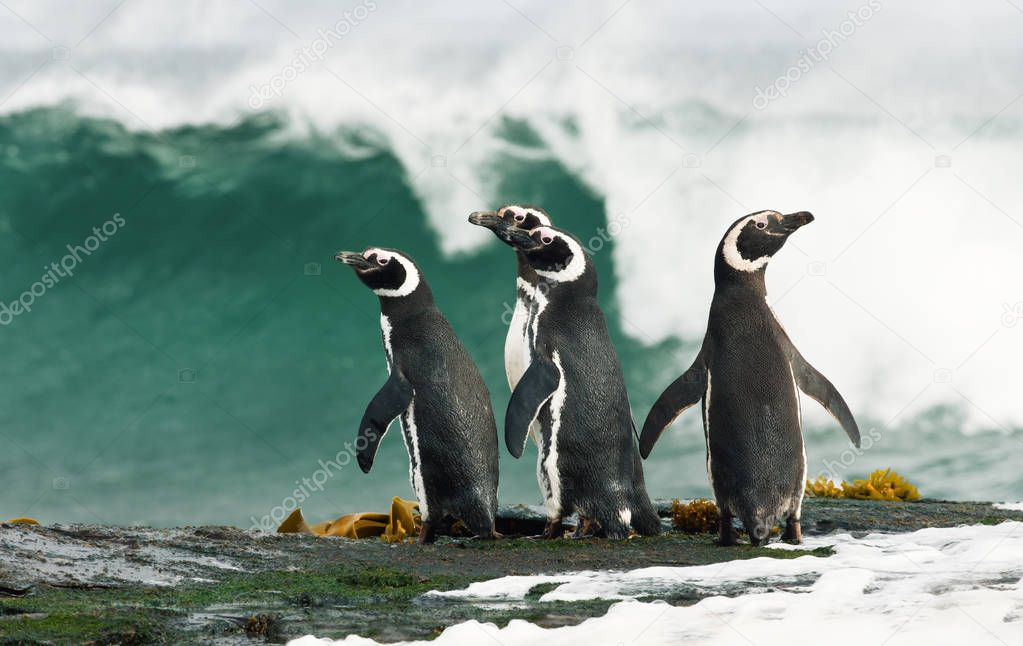 Group of Magellanic penguins standing on a shore and watching stormy ocean in Falkland islands.