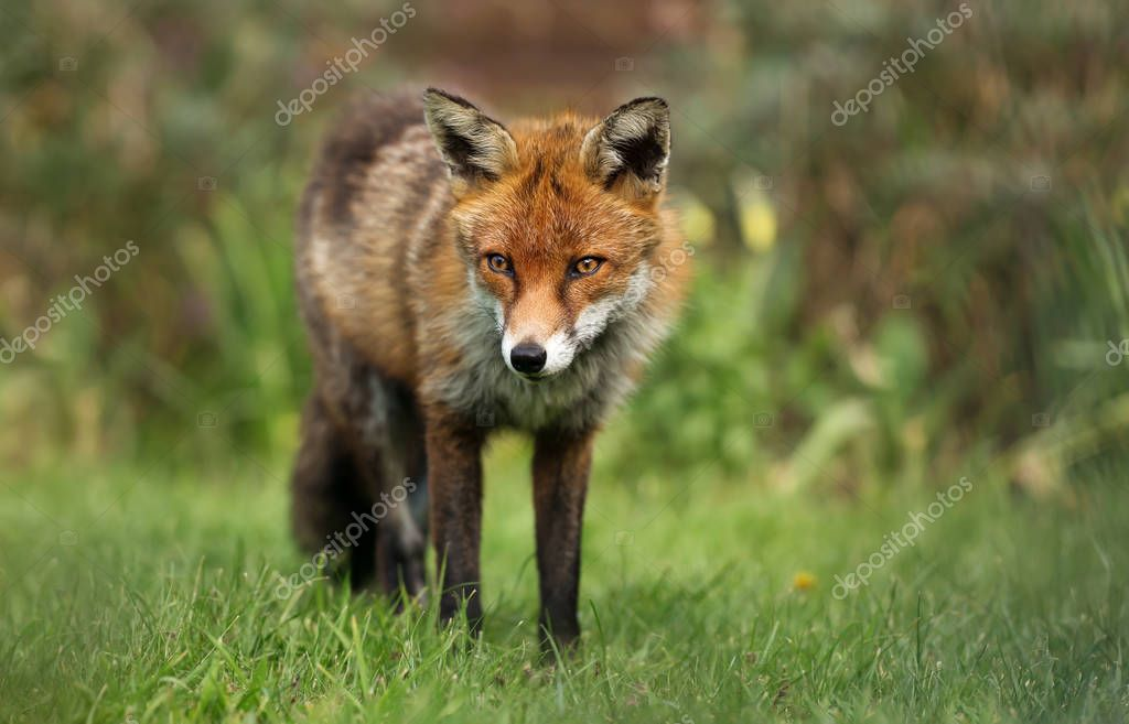 Close up of a red fox in the garden, UK.