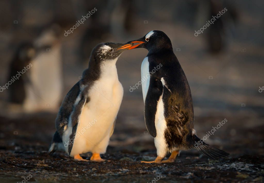 Gentoo penguin feeding its molting chick with regurgitated food, Falkland islands.