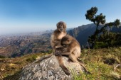 Close up of Gelada monkeys grooming in Simien mountains, Ethiopia.