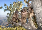 Fotografie Close up of playful baby Gelada monkeys sitting in the tree, Simien mountains, Ethiopia.