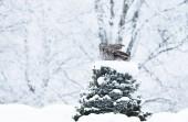 Fotografia Gufo di grande Grey appollaiati su un albero in inverno, Finlandia