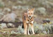 Fotografia Chiuda in su di un specie raro e minacciato lupo etiope (Canis simensis) in Acrocoro Etiopico, montagne di Bale, Etiopia