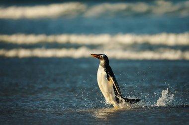 Close up of a Gentoo penguin in Atlantic ocean, Falkland Islands. stock vector