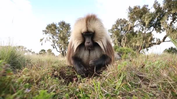 Title: Close up of an adult male Gelada monkey (Theropithecus gelada) grazing in Simien mountains national park, Ethiopia.