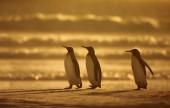 King penguins standing on a sandy coast at sunrise