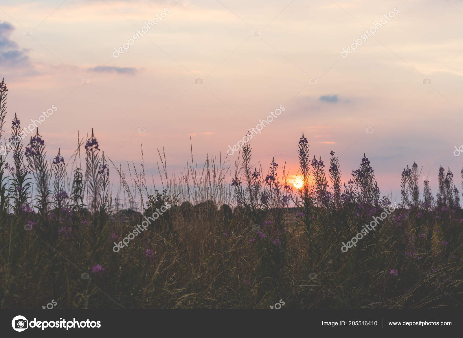 Beautiful Sunset Field Purple Flowers Bochum Germany Stock Photo C Brunosommerfeld 205516410