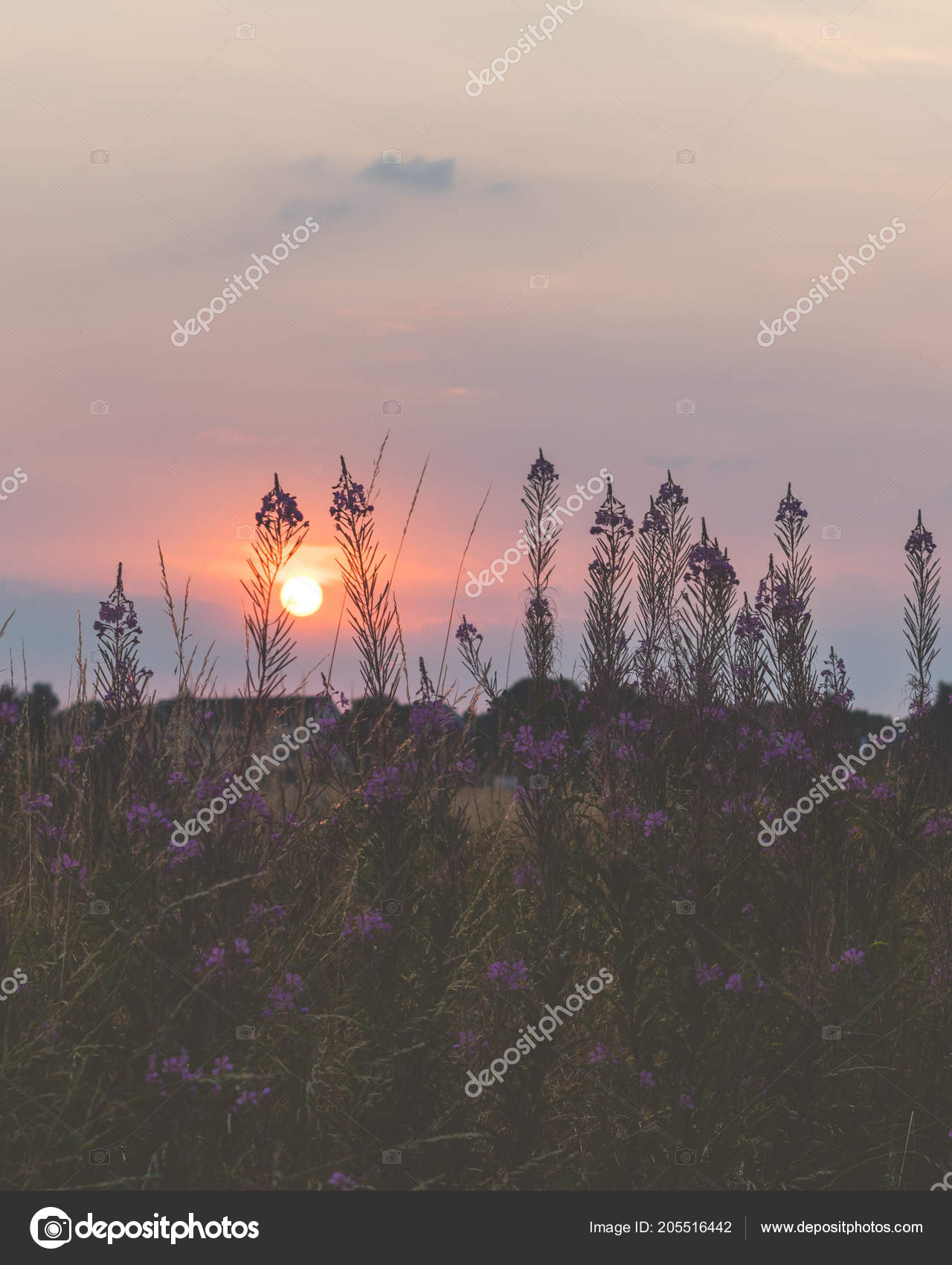 Beautiful Sunset Field Purple Flowers Bochum Germany Stock Photo C Brunosommerfeld 205516442