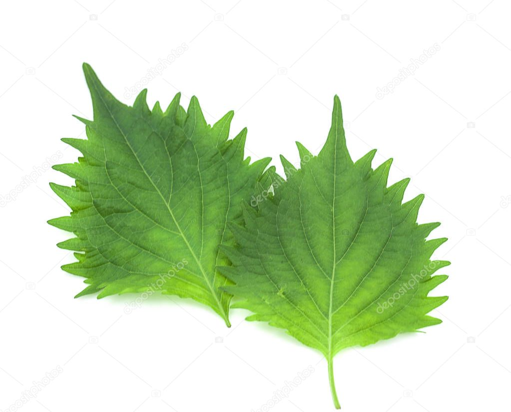 fresh green shiso leaf on white background