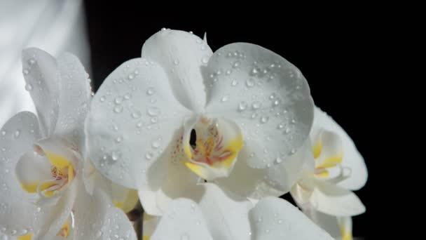 Detailní záběr na květ orchideje, něž se kapky vody. Padající kapky vody zpomalené z 120 fps
