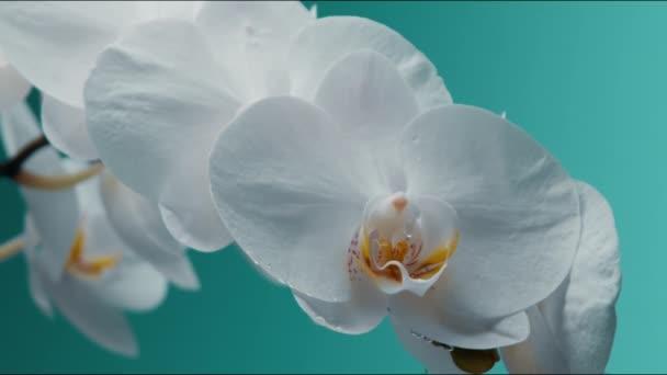 Bílá kvetoucí orchidej na pozadí a kapky padající na něj